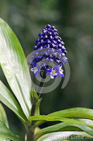 Blue Ginger, Commelinaceae Originating In Brazil Stock Photo.