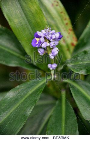 Ginger Flower Stock Photos & Ginger Flower Stock Images.