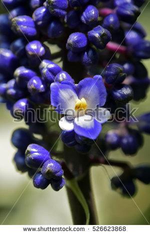 Commelinaceae Banco de imágenes. Fotos y vectores libres de.