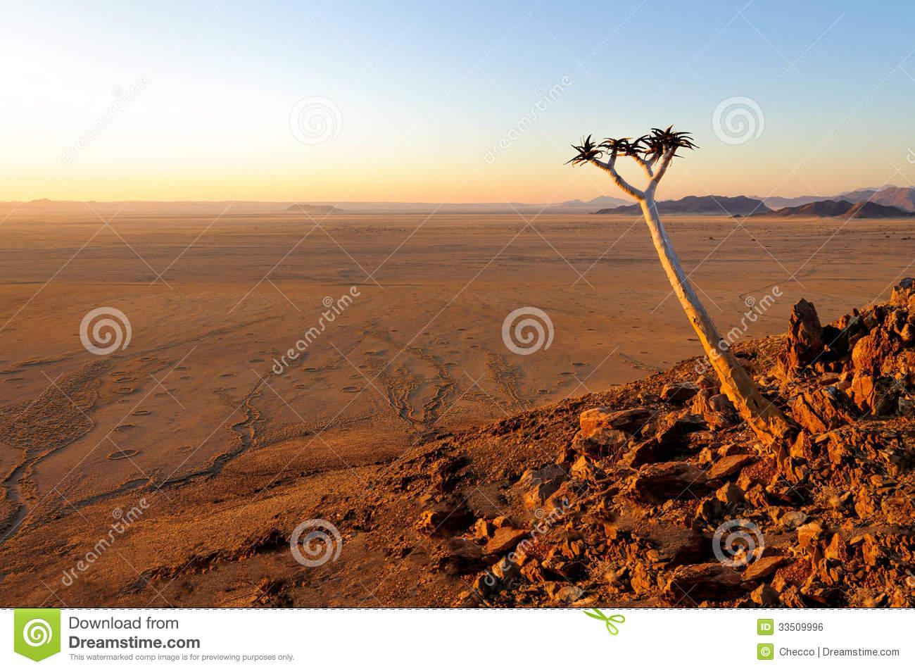 Quiver Tree (Aloe Dichotoma) In The Namib Desert Stock Image.