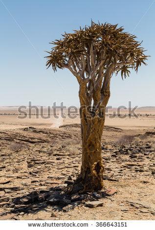 Aloe Dichotoma Stock Photos, Royalty.