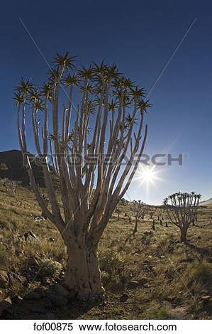 Stock Image of Africa, Namibia, Tubular trees (Aloe dichotoma.
