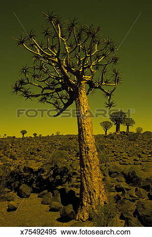 Stock Image of Namibia, Keemanshoop, Quiver trees (Aloe dichotoma.