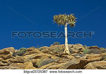 "Picture of ""Quiver Tree or Kokerboom (Aloe dichotoma), Goegap."