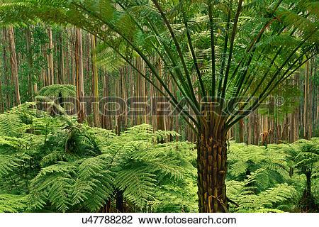 Stock Photo of Tree ferns, Dicksonia antarctica, in eucalyptus.