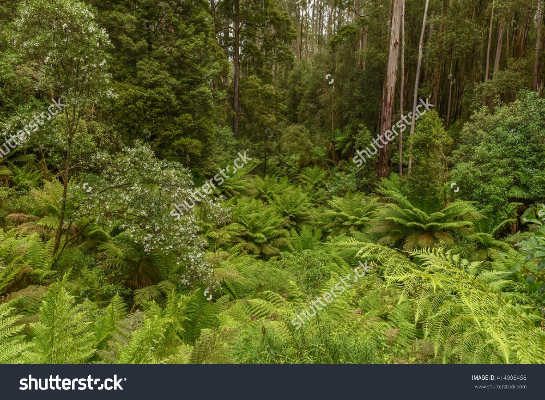 Dicksonia Antarctica (Soft Tree Fern, Man Fern) Is A Species Of.