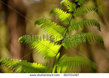 Tasmanian Tree Fern Stock Photos, Royalty.