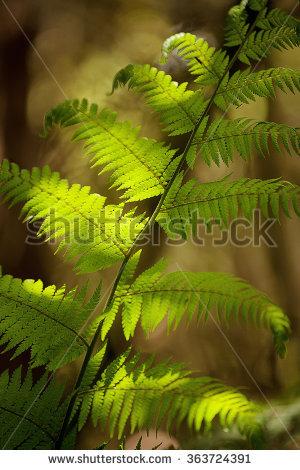 Tasmanian Tree Fern Stock Photos, Royalty.