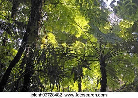 "Stock Photo of ""Soft Tree Ferns or Man Ferns (Dicksonia antarctica."