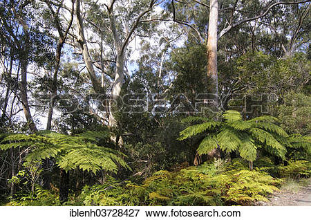 """Picture of """"Soft Tree Ferns or Man Ferns (Dicksonia antarctica."""