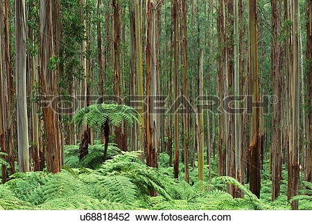 Stock Photo of Tree ferns, Dicksonia antarctica, in eucalyptus.