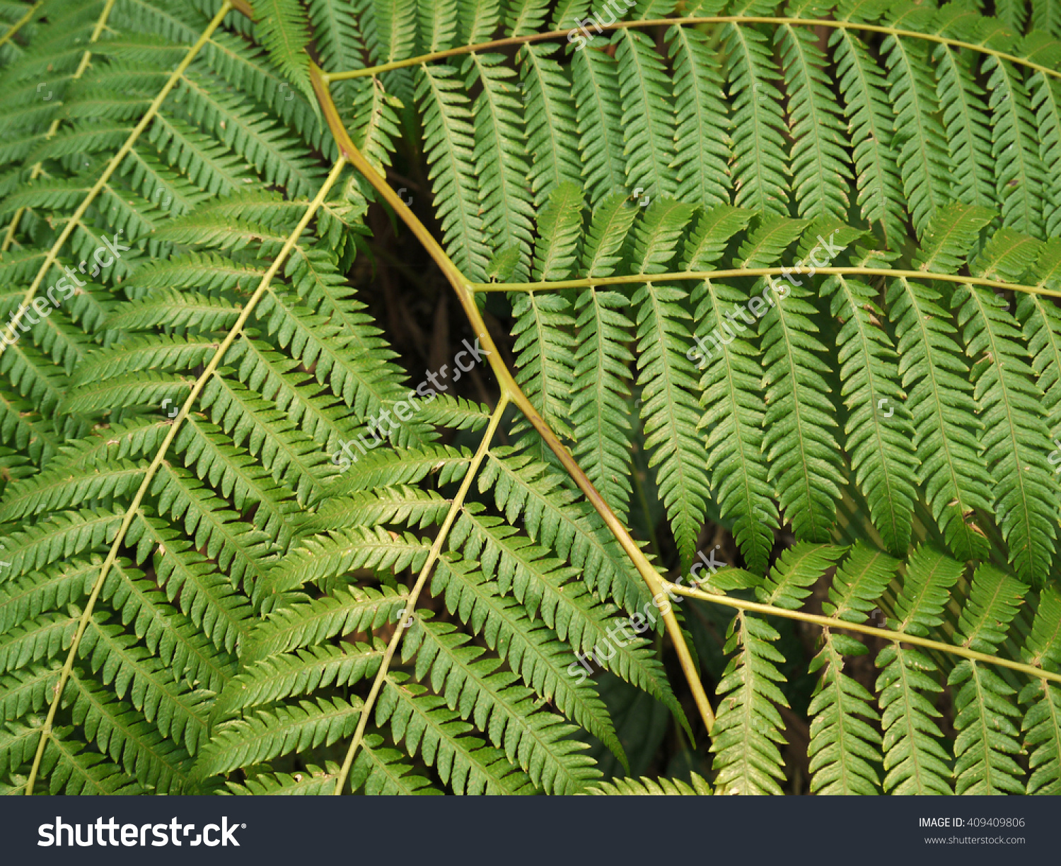 Close Up Detail Of Fronds On A Tasmanian Tree Fern(Dicksonia.