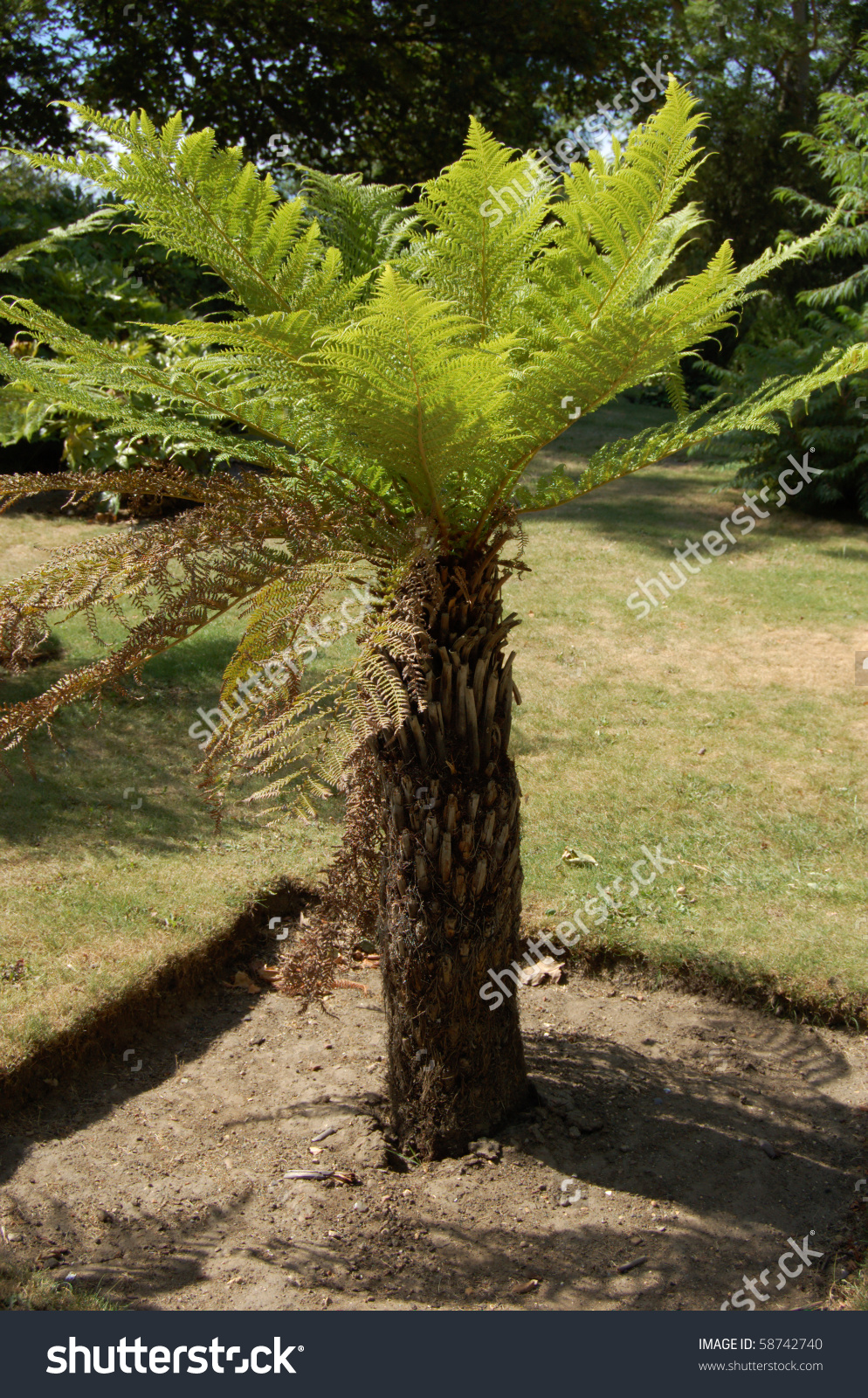 Dicksonia Antarctica Tree Fern In Battersea Park In London.