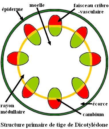 Structure primaire de la tige de Dicotylédones.