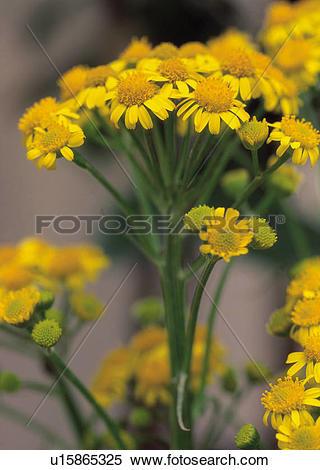 Stock Image of Dicotyledon, flowers, Dicotyledoneae, plants, plant.