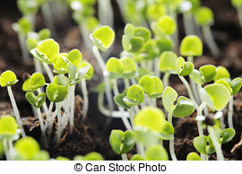 Dicot Stock Photo Images. 71 Dicot royalty free pictures and.