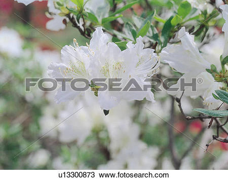 Stock Photo of Dicotyledoneae, flower, plants, plant, flowers.