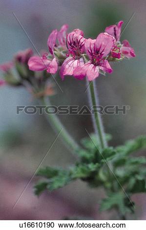 Stock Photography of Dicotyledon, flowers, Dicotyledoneae, plants.