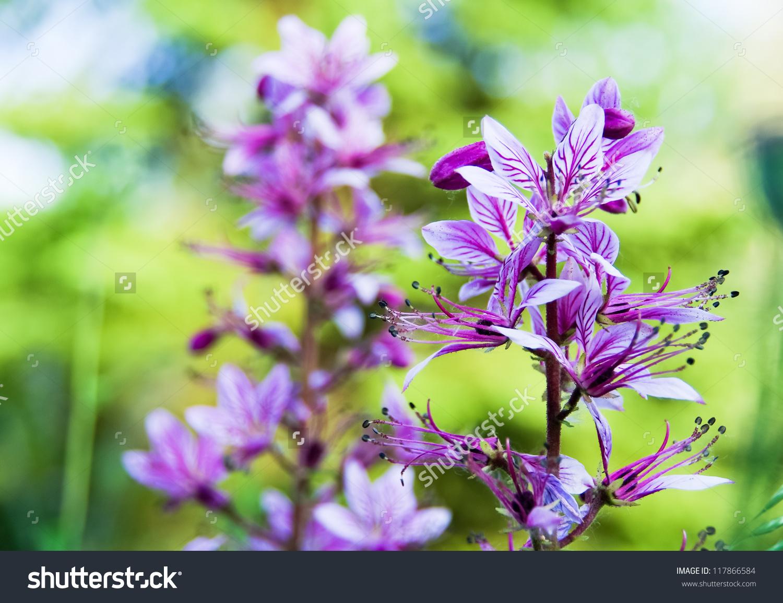 Dictamnus Albus Flowers. Dictamnus Known As Burning Bush Or.