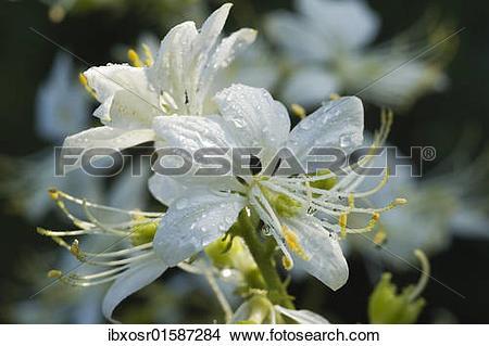 "Stock Photo of ""Dittany (Dictamnus albus), flowering, medicinal."