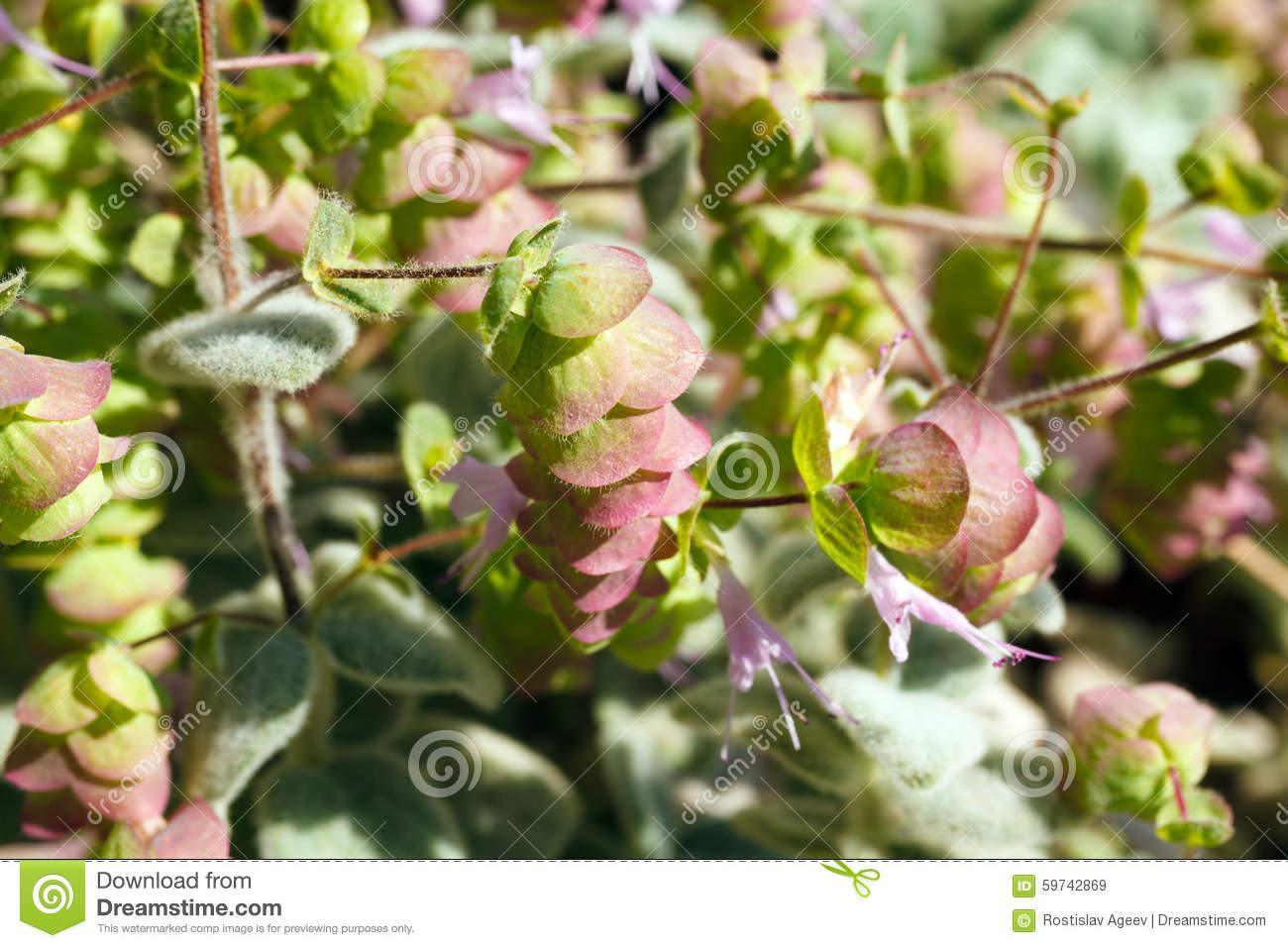 Origanum Dictamnus, Dittany Of Crete Herb Stock Photo.