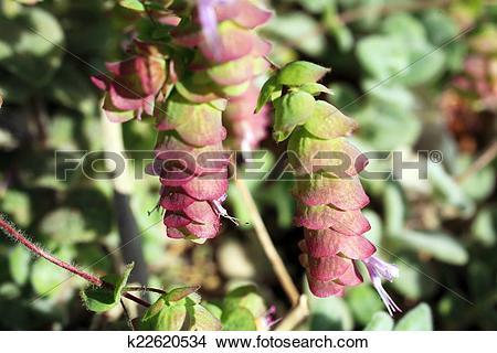 Stock Photo of Origanum Dictamnus, Dittany of Crete Herb k22620534.