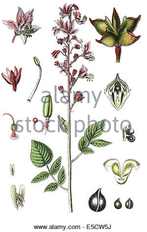 Dittany (dictamnus Fraxinella Stock Photo, Royalty Free Image.