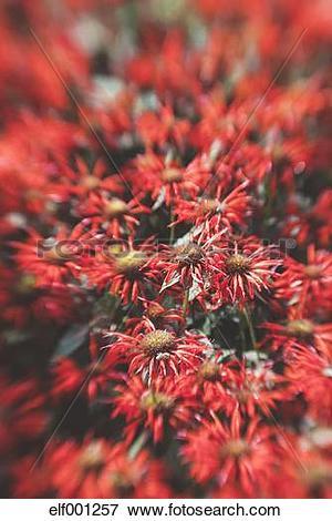 Picture of Germany, Crimson beebalm, Monarda didyma elf001257.