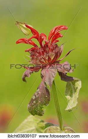 "Picture of ""Crimson Beebalm (Monarda didyma hybrid), blossom."