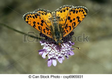 Stock Photography of Melitaea didyma.