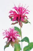 Stock Photography of Indian paintbrush flower (Monarda didyma.