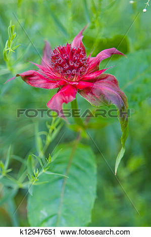 Stock Photography of Scarlet Monarda (Monarda didyma) in the.