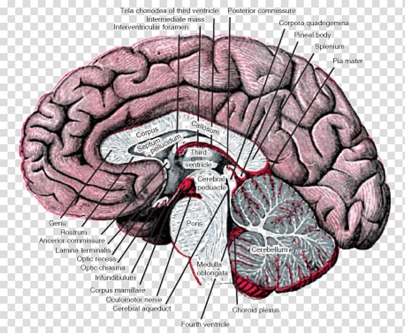 Basal ganglia Nucleus Forebrain Anatomy, nervous system.