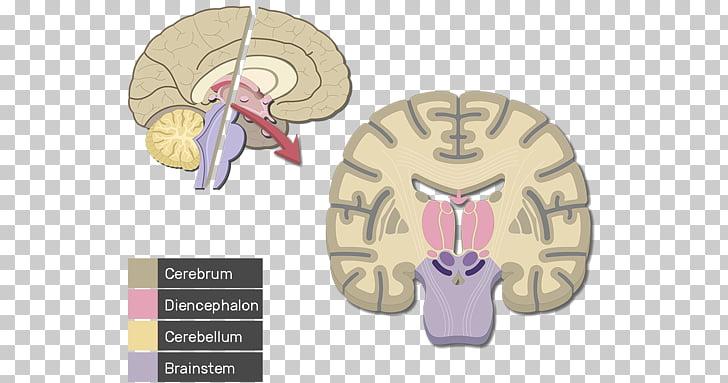 Cerebral cortex Human brain Cerebrum Lobes of the brain.