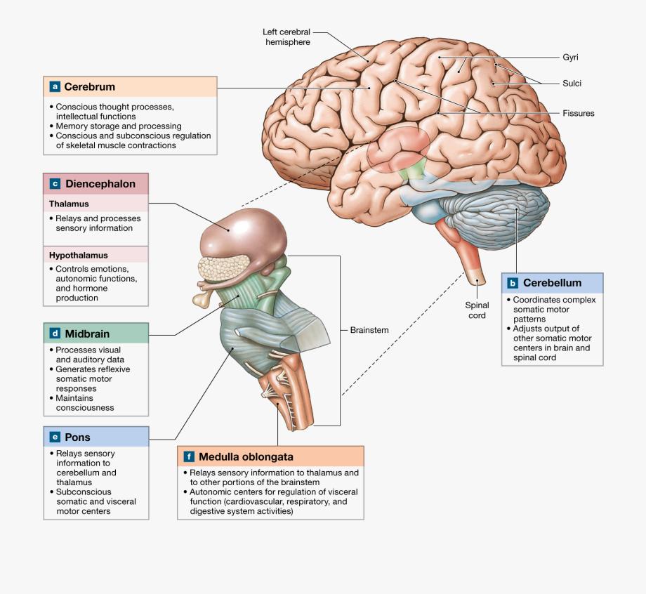 Major Region Of The Brain , Transparent Cartoon, Free.