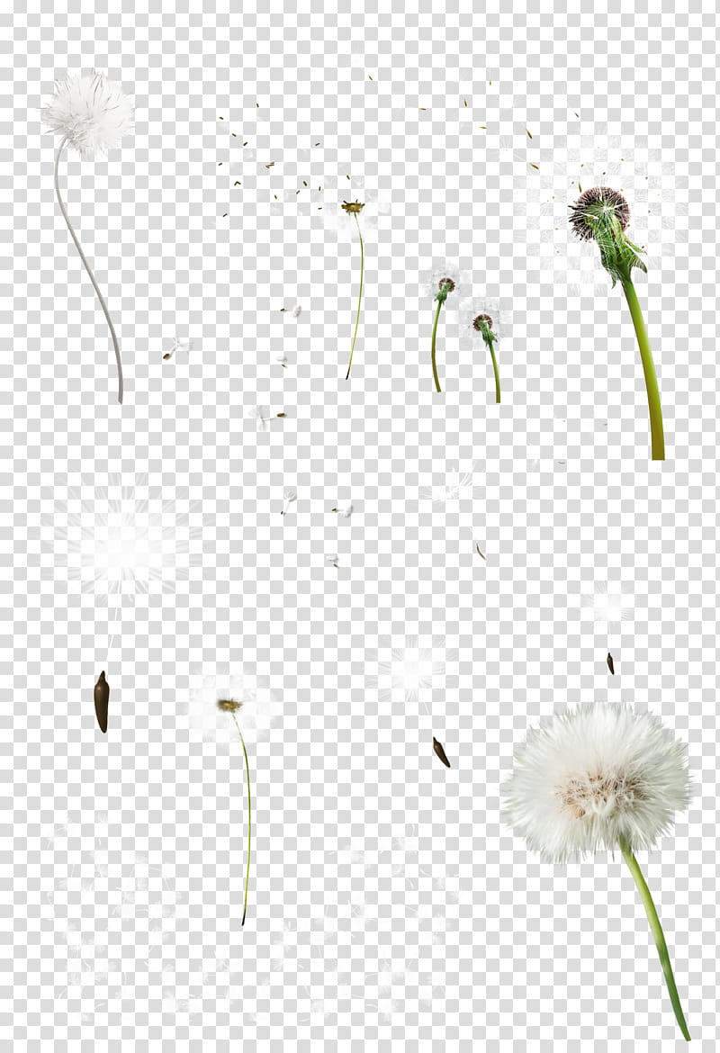 Diente de leon, white dandelions transparent background PNG.