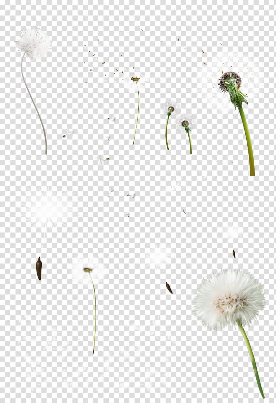 Diente de leon, white dandelions transparent background PNG.