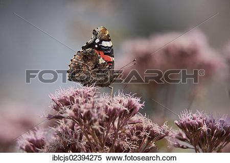 "Stock Image of ""Red Admiral butterfly (Vanessa atalanta."