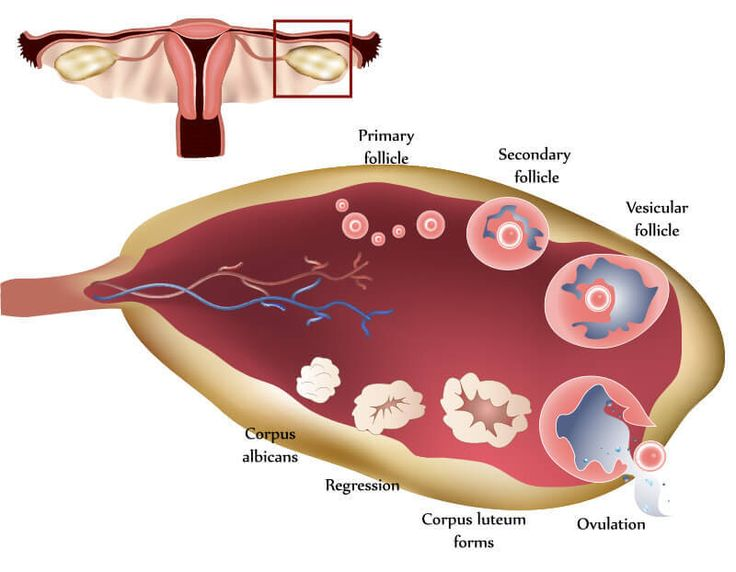 1000+ ideas about What Is Ovulation on Pinterest.