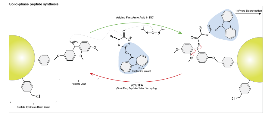 Peptide synthesis.