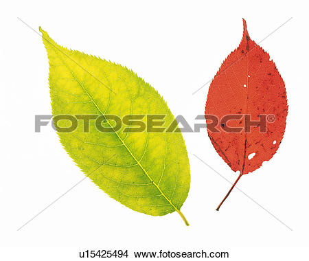 Stock Photo of One Light Green and One Red Leaf, Both Different.