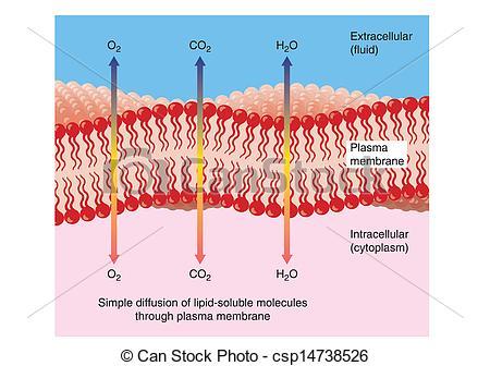 Membrane clipart #8