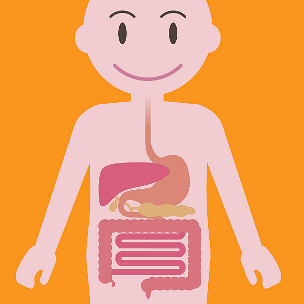 Best Animal Digestive System Illustrations, Royalty.