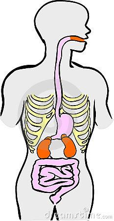 Human Digestion Clip Art.