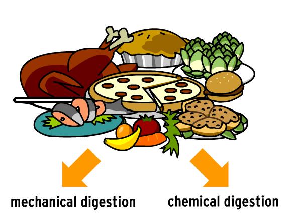 Digestion Clip Art.