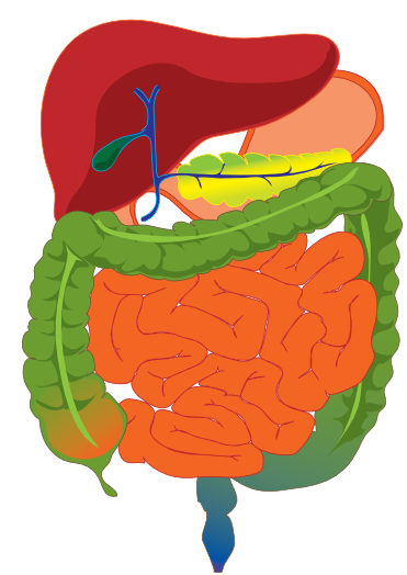 Digestive Clipart.