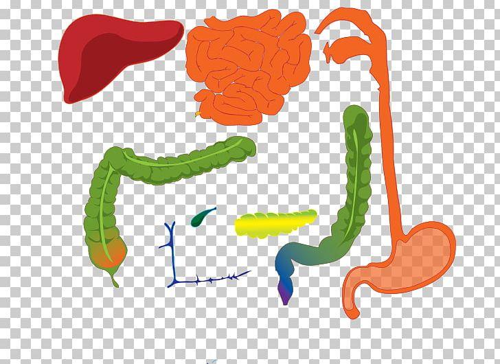 Gastrointestinal Tract Human Digestive System Digestion Human Body.
