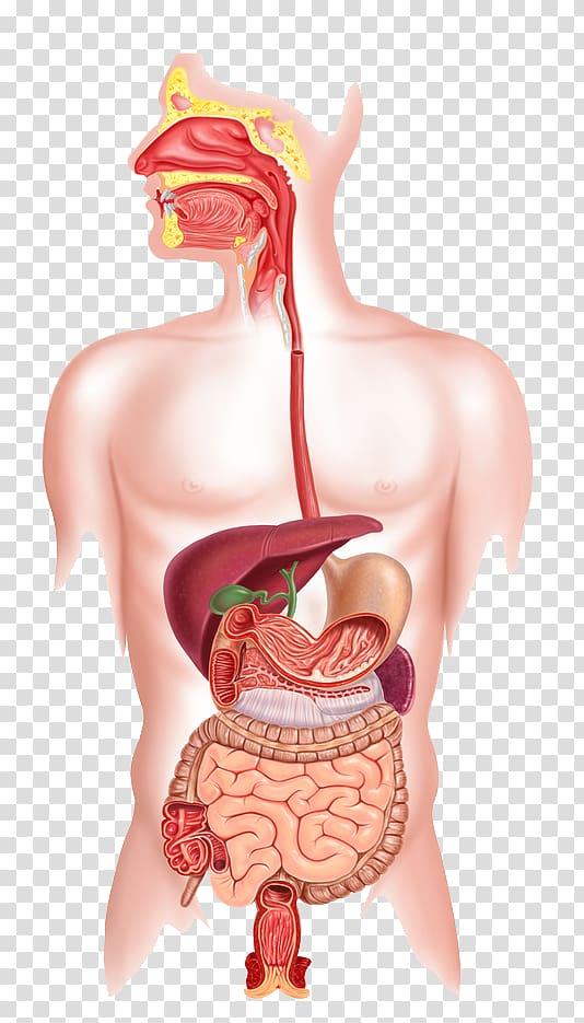 Human body digestive system illustration, Human digestive system.