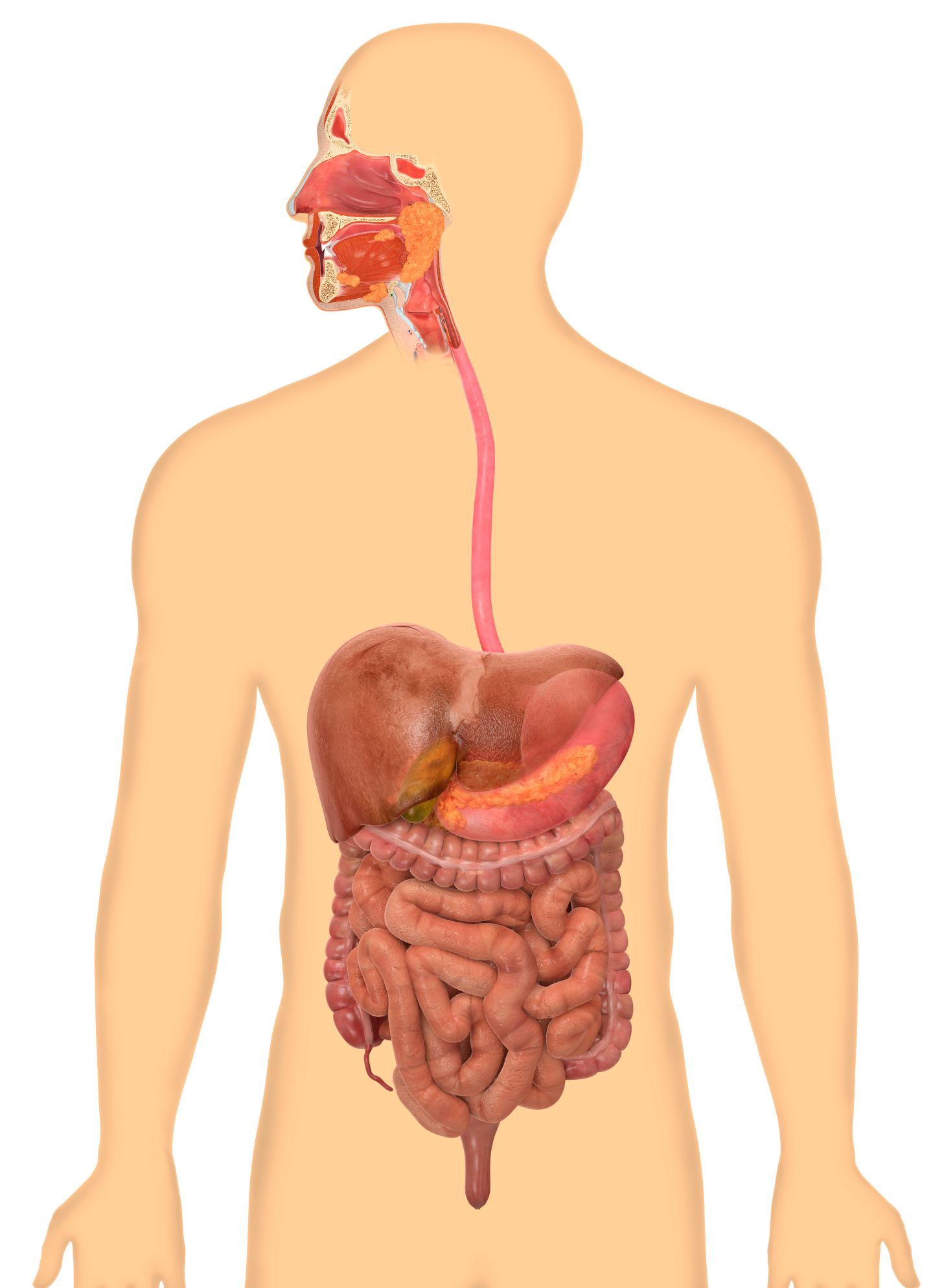 How Does the Digestive System Work for Kids.