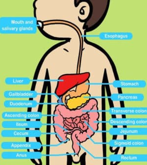 How does digestion work?.